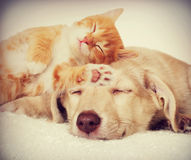 Kitten and puppy sleeping Stock Photography