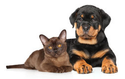 Kitten and puppy together Royalty Free Stock Photo