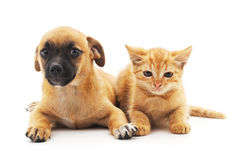 Kitten and puppy. Royalty Free Stock Image