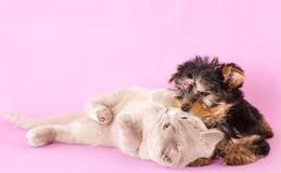 Kitten  and puppy Yorkshire Terrier Royalty Free Stock Image