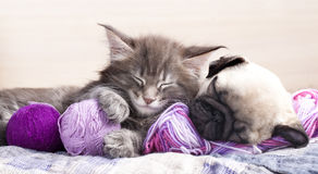 Kitten and puppydachshund stock photos