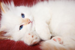 Kitten purring Stock Images