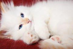 Kitten purring Stock Images