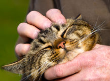Kitten Purring. Stock Image