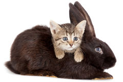 Kitten and Rabbit. Friendship animals and pets. Kitten and Rabbit in studio  on white background Royalty Free Stock Photo