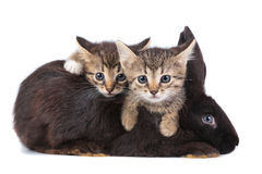 Kitten and Rabbit. Friendship animals and pets. Kitten and Rabbit in studio  on white background Stock Image