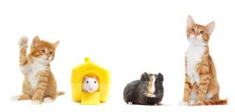 Kitten and rat Stock Image