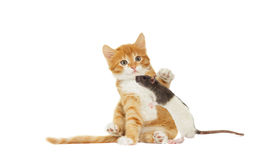 Kitten And rat looking Stock Image