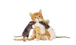 Kitten And rat looking Royalty Free Stock Photo