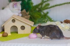 Kitten and rat near the Christmas tree. Rodent and predator stock photography