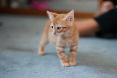 Kitten reach to pounce Royalty Free Stock Photography