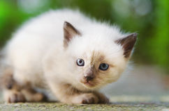 Kitten ready to act Royalty Free Stock Photo