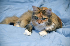 Kitten Reclining on a Light Blue Comforter. A kitten lie adult long haired female cat reclining on a light blue comforter Stock Image