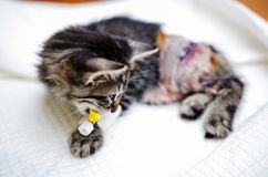 Kitten recovering after surgeory Stock Photo