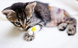 Kitten recovering after surgery Stock Photography