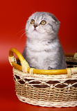 Kitten on a red background. Stock Photography