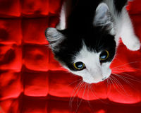Kitten on a red background royalty free stock photography