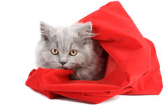 Kitten in red bag isolated Stock Image