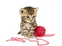 Kitten with red ball of yarn on white background. A small kitten sits next to a ball of red yarn on a white background. These kittens are being raised on a farm Stock Photo