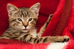 Kitten on a red blanket Royalty Free Stock Image