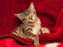Kitten on a red blanket Stock Photography