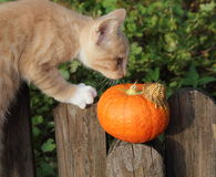 KITTEN RED ON THE FENCE IN THE GARDEN WITH PUMPKIN