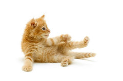Kitten red funny playful Stock Photography