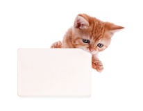 Kitten red holds a postcard Stock Images