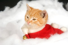 Kitten in red holiday vest Stock Image