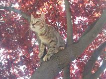 Kitten on red tree. Young kitten climbed a red plum tree and is about to jump Royalty Free Stock Photo