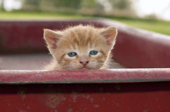 Kitten in red wagon Royalty Free Stock Image