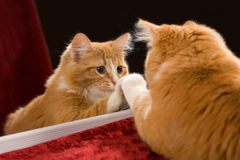 Kitten Reflectio. Cute orange tabby kitten in front of mirror Stock Photos