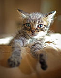 Kitten relaxes Royalty Free Stock Image