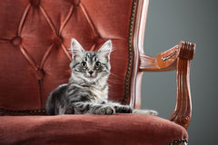Kitten relaxing on a baroque armchair Stock Photography