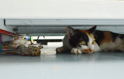 Kitten relaxing after hunting rat under shelf in shop Stock Photo