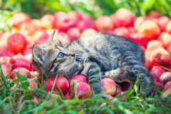 Kitten relaxing on red apples Stock Images