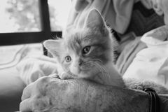 Kitten in a resthome. Pet therapy series. Cute kitten sitting on the lap of an elderly rest home resident. Black and white image stock photos