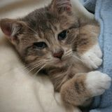 Kitten resting. A kitten resting under the covers royalty free stock images