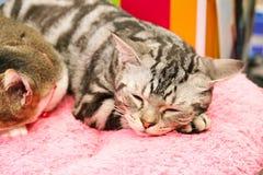 Kitten is resting Stock Image