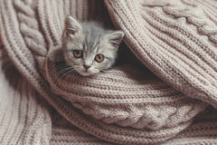 Kitten is resting on a blanket. Britain's little kitten is hunting for something royalty free stock photos