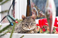 Kitten resting on Christmas decorated window Royalty Free Stock Images