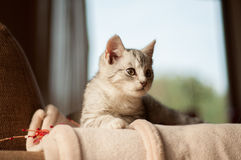 Kitten resting on a couch. Kitten laying on a couch with window background stock photos