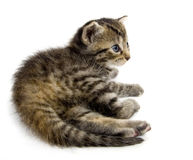 Kitten resting on white background (15mm wide). A small kitten lies down to rest on a white background royalty free stock photography