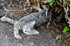 Kitten Resting Royalty Free Stock Photography