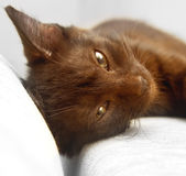 Kitten rests Royalty Free Stock Photo