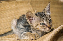 Kitten rests. On woven basket material, Vietnam Stock Photo