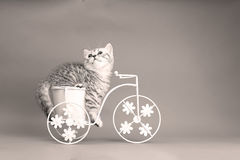 Kitten riding a bike. British Shorthair kitten sitting in a flower pot bicycle Royalty Free Stock Photos
