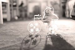 Kitten riding the bike. British Shorthair kitten sitting in a flower pot bicycle Royalty Free Stock Images