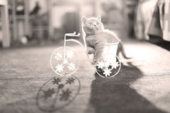Kitten riding a bike. British Shorthair kitten sitting in a flower pot bicycle Stock Photos