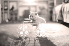 Kitten riding the bike. British Shorthair kitten sitting in a flower pot bicycle Stock Images